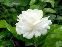 Mali_flower